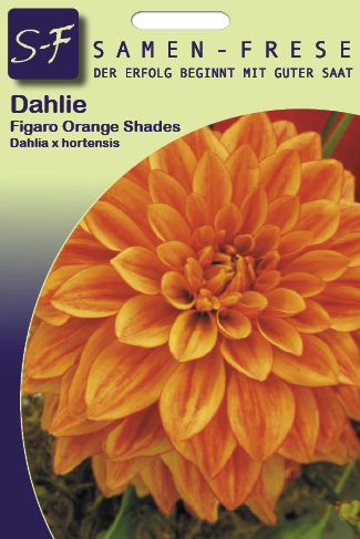 Dahlien Figaro orange