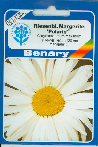 Riesen Margeriten weiß Chrysanthemum maximum (J151)